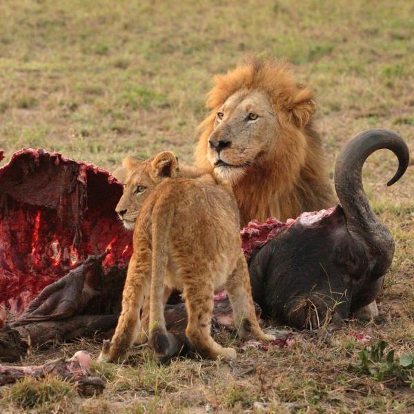 leones comiendo presa
