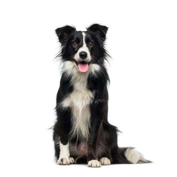 Border Collie perro pastor