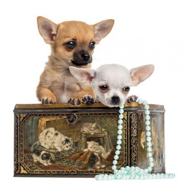 chihuahuas cachorros cabeza de manzana. ¿Cuántos tipos de perros chihuahuas existen?