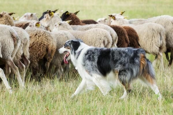 Un bonito perro pastor cuidando un rebaño de ovejas