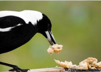Una urraca se alimenta de todo tipo de alimentos.