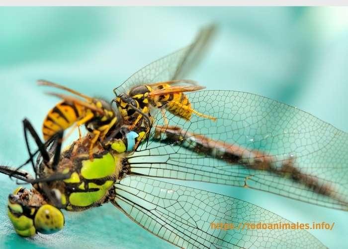 Avispas comiendo una libélula muerta