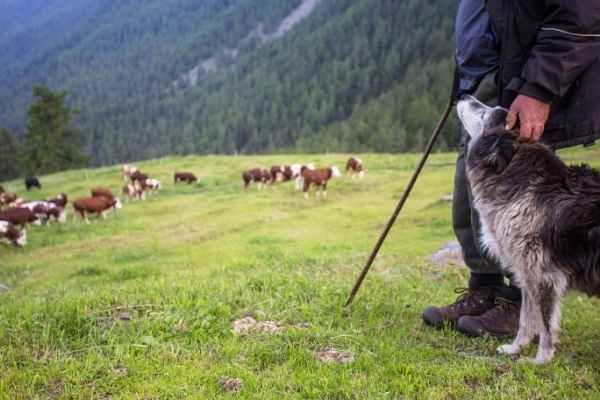 Existen diferentes tipos de perros pastores de acuerdo a los animales que pastorean.