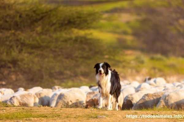 perros pastores las 10 mejores razas o especies