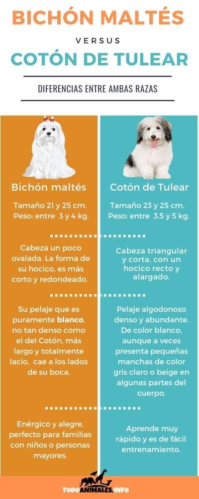 Bichón Maltés versus Cotón de Tulear - Semejanzas y diferencias de ambas razas de perros.