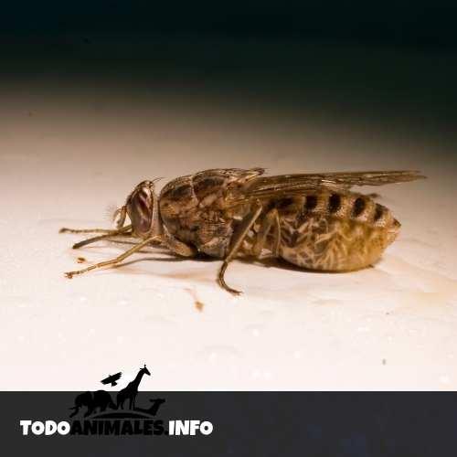 Una mosca Tse Tsé en animales ovovivíparos - insecto
