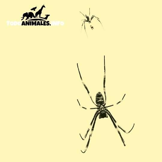 Arañas tejedoras de seda, donde la hembra es más grande que el macho