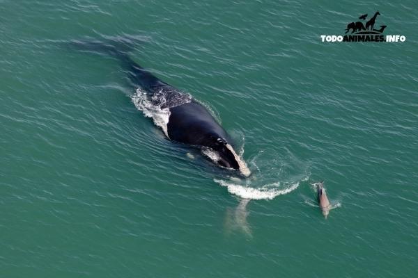 Ballena Franca del Pacífico Norte nadando junto a delfines