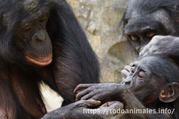 Los Bonobos, animales donde la hembra manda, son primates.