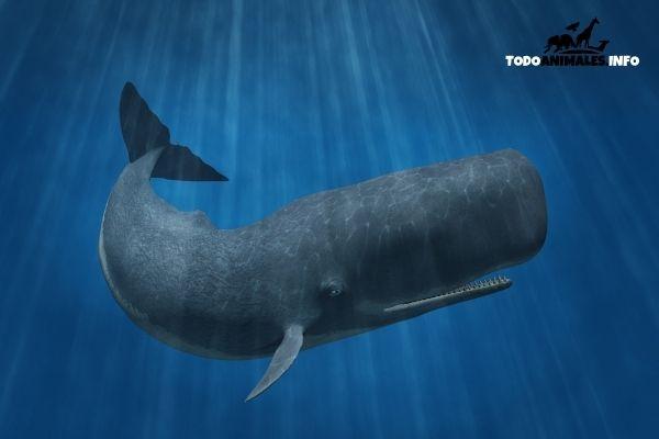 Cachalote y su enorme cabeza. Uno de los animales más grandes del planeta, y el mamífero más grande con dientes.
