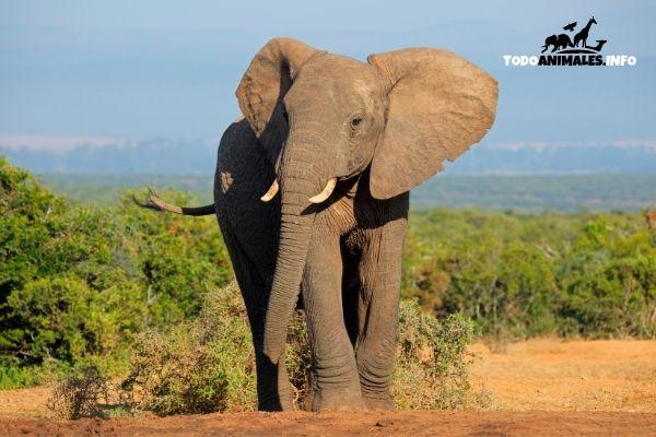 elefante africano Cuanto pesa uno de los animales más grandes del planeta