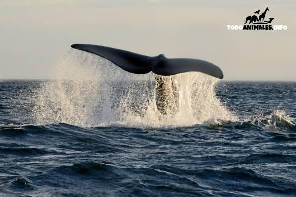 Uno de los animales más grandes del planeta, la ballena Franca Austral.