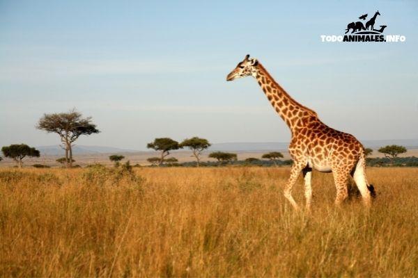Jirafa en la sabana, otro de los animales más grandes del mundo.