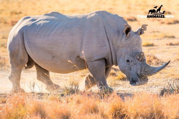 Un rinoceronte blanco, de los animales más grandes del mundo.