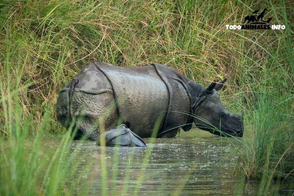 El gran rinoceronte indio, un unicornio real?