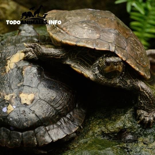 Animales donde la hembra es más grande, las tortugas mapa