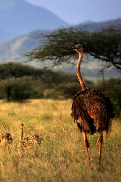 Avestruz: animales bípedos
