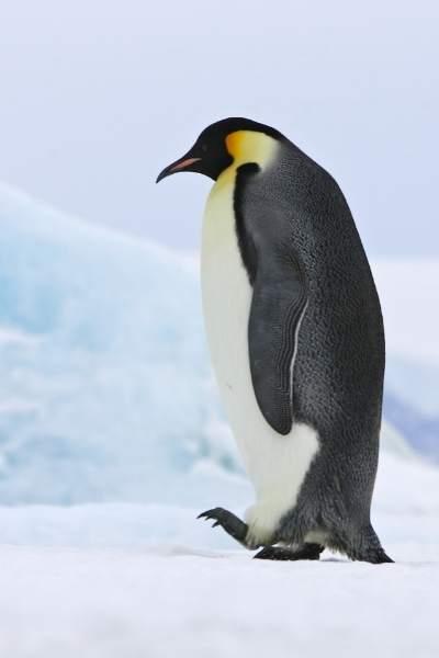 Pingüino emperador caminando sobre extremidades traseras
