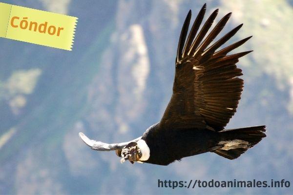 El cóndor sobrevolando Los andes en Suramérica