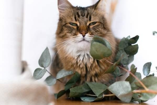 olores que odian los gatos: eucalipto