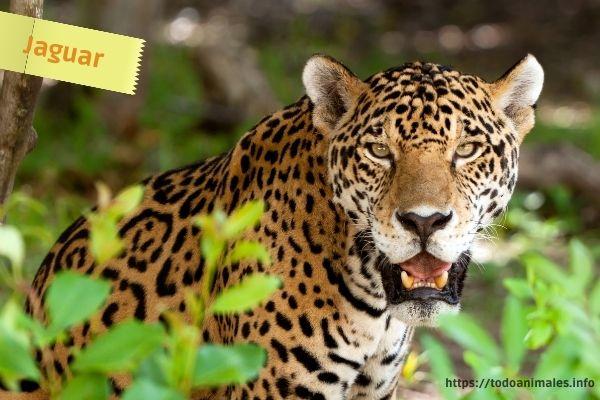 El jaguar, yaguar o yaguareté, es otro de los animales originarios cuando el hombre pobló América