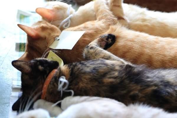 Importancia de la esterilización de gatos