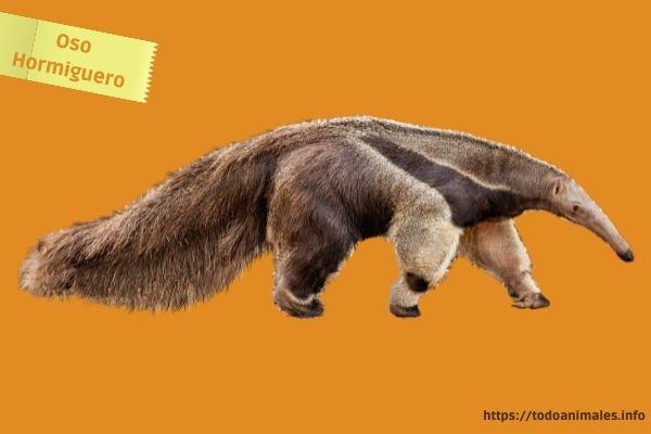 Oso Hormiguero, otro de los animales originarios cuando el hombre pobló América