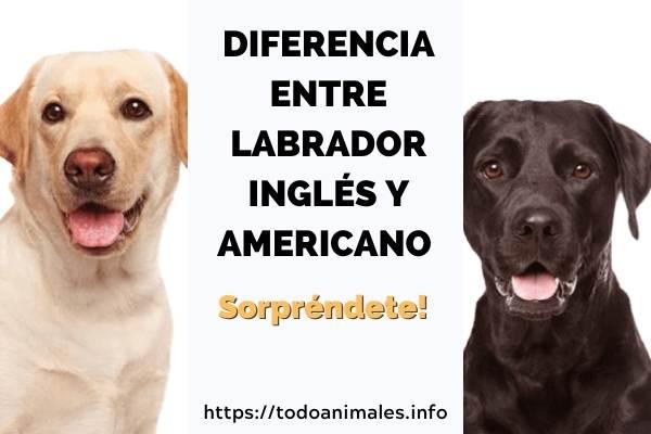 Diferencia entre labrador inglés y americano ¡Sorpréndete!